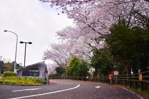 のぞみ公園 満開の桜 諫早市多良見町